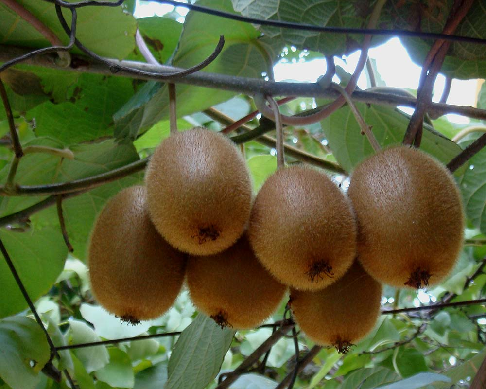 Actinidia chinensis for Kiwi coltivazione