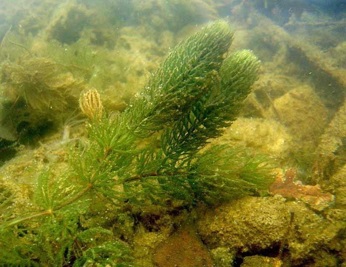 ceratophyllum demersum how to grow