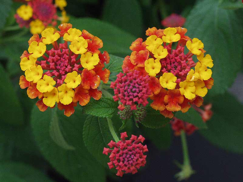 Lantana Varieties Colors