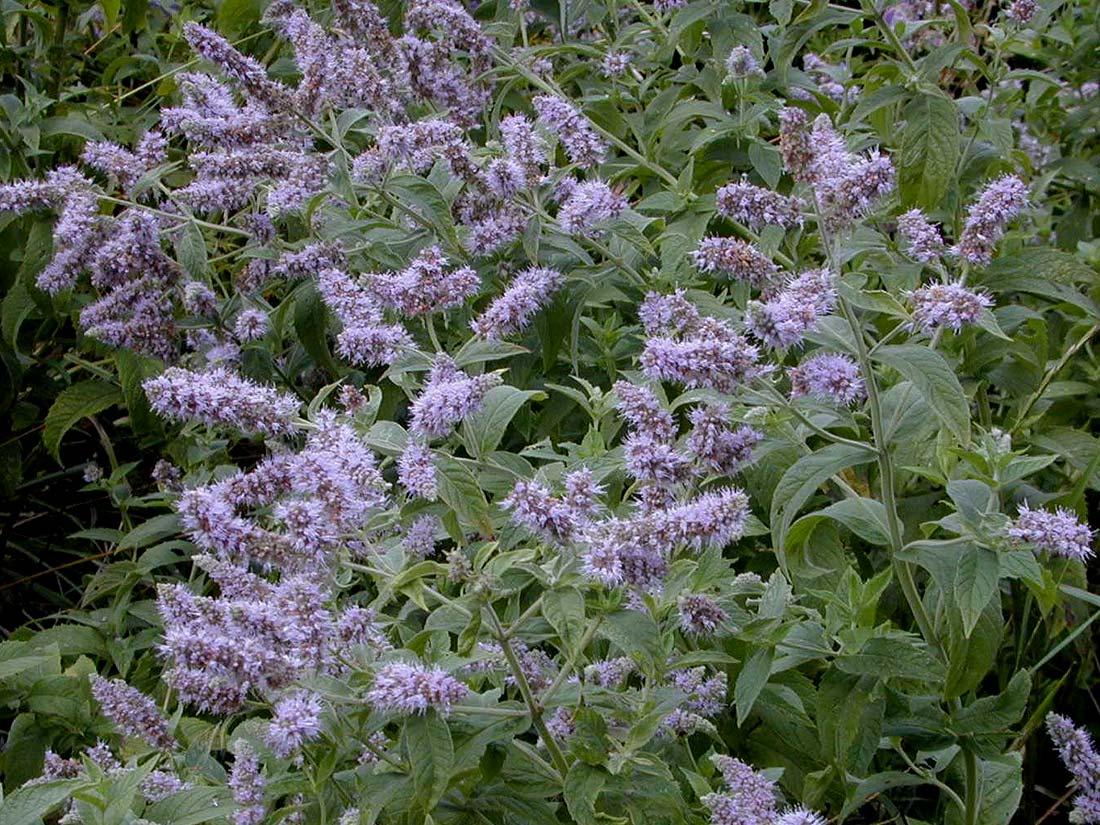 Mentha longifolia Horsemint PFAF Plant Database
