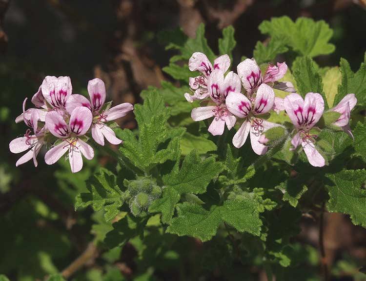 Pelargonium graveolens - Geranio odoroso ...