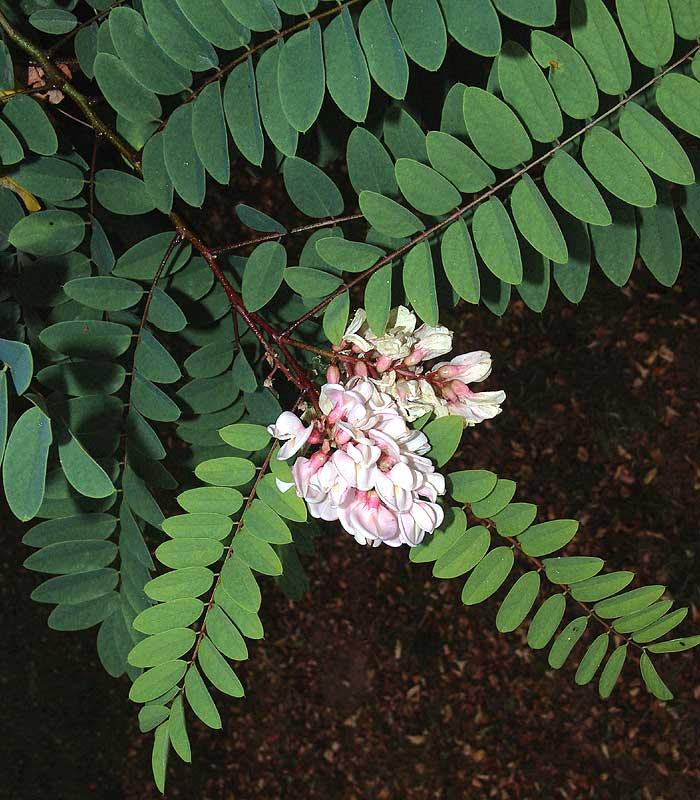 Plant Information Center - Robinia viscosa var. hartwegii